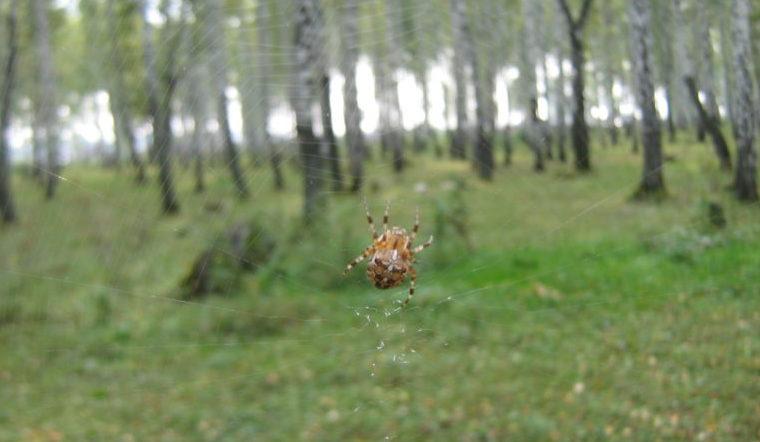 Могут прокусить кожу. Дома жителей Урала атакуют огромные пауки