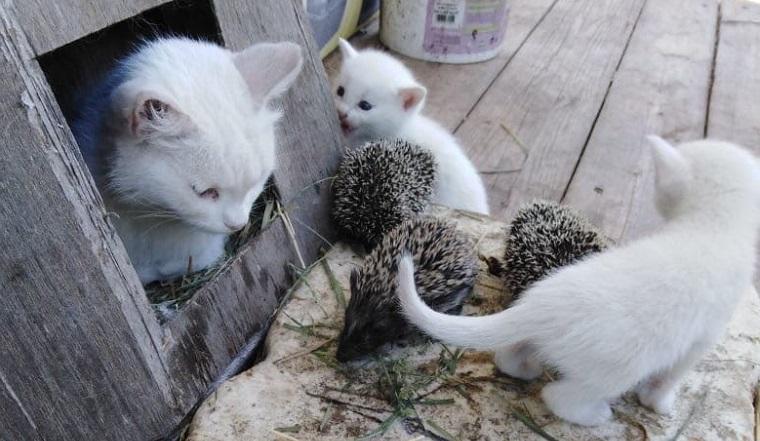 Чужих детей не бывает. На Южном Урале кошка «усыновила» 4 осиротевших ежат ФОТО
