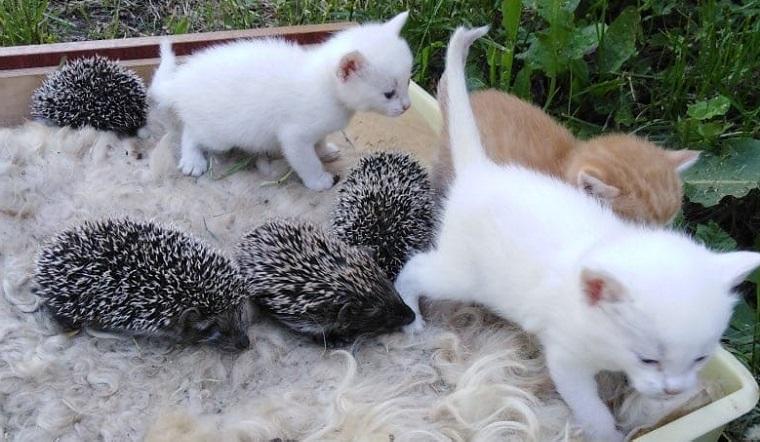 Чужих детей не бывает. На Южном Урале кошка «усыновила» 4 осиротевших ежат