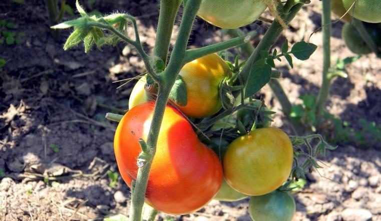 """Мечта всех дачников. Как вырастить """"ленивый"""" урожай: от помидоров до гортензий"""