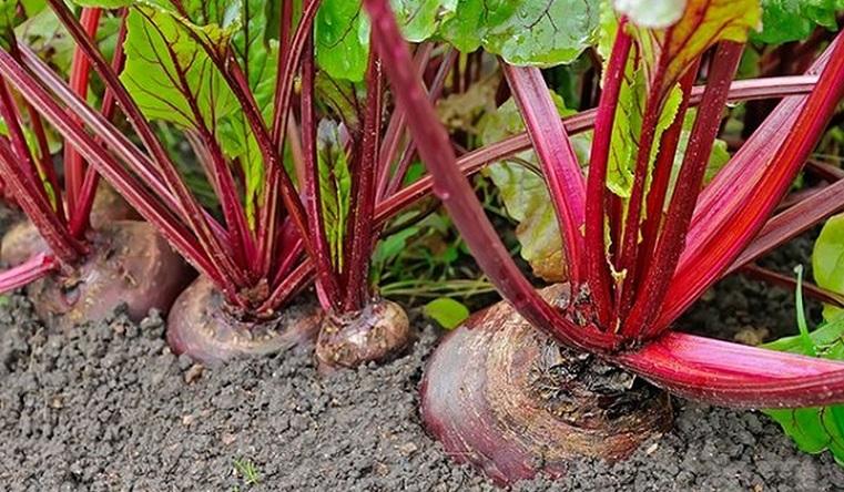 Отпугивают вредителей. 7 овощей, которые лучше растут в паре
