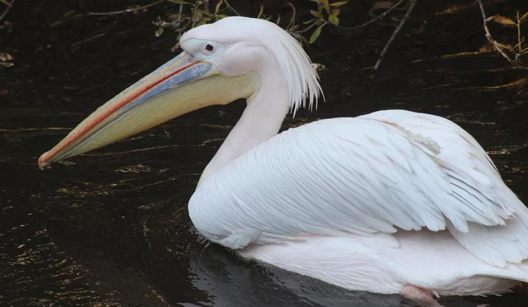 Вызвали полицию. В зоопарке Челябинска посетители вырвали перья у пеликана