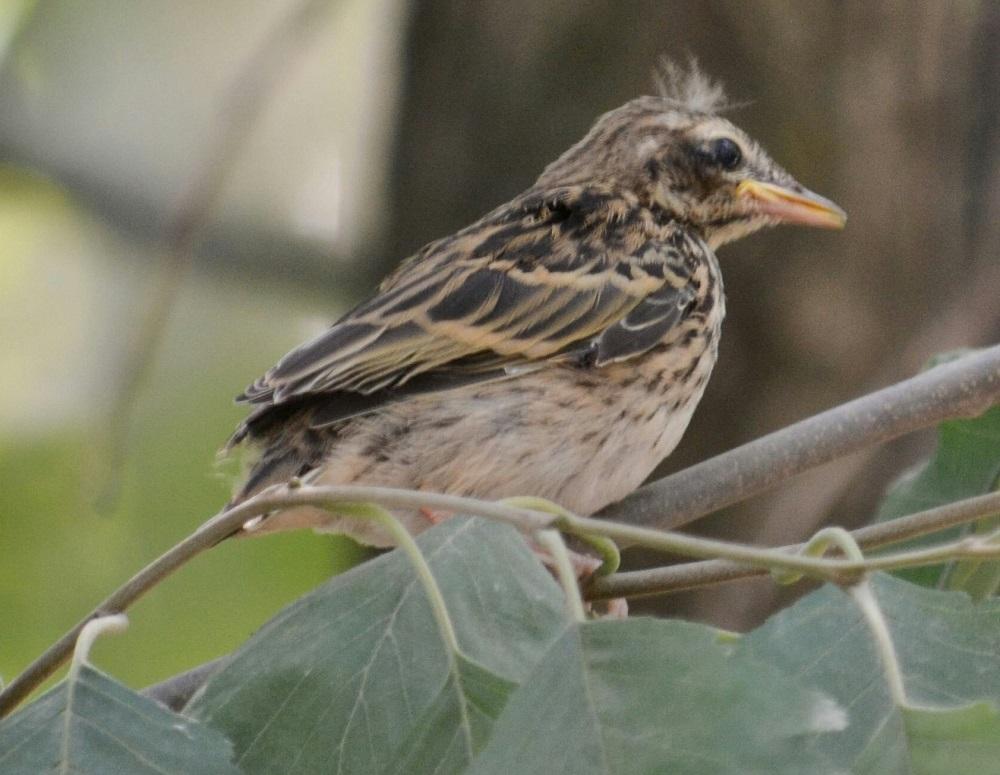 Чудо в перьях. На Урале заметили одну из лучших певчих птиц в мире