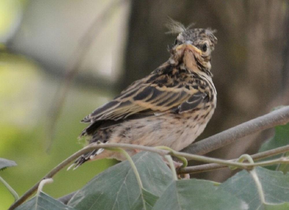 Чудо в перьях. На Урале заметили одну из лучших певчих птиц в мире.