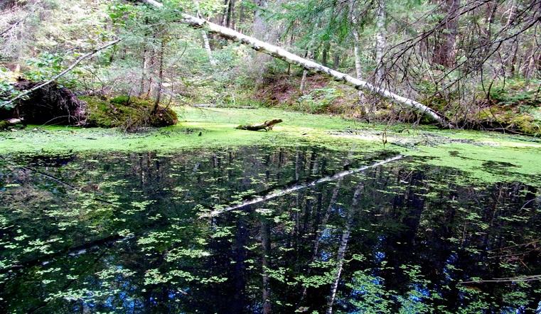 Лилипутики. На Урале стремительно размножается одно из самых маленьких растений в мире