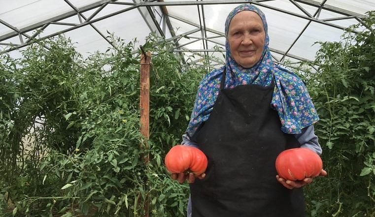 Что за сорт. Помидоры-гиганты выросли в Челябинской области