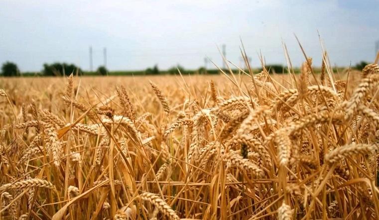 Миллионные убытки. В Челябинской области из-за засухи пострадал урожай