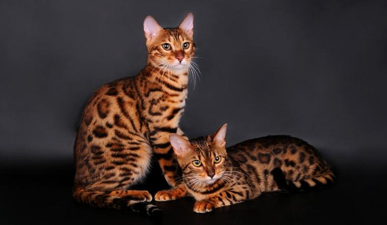 Королевских кровей. 4 самых дорогих котенка в Челябинской области