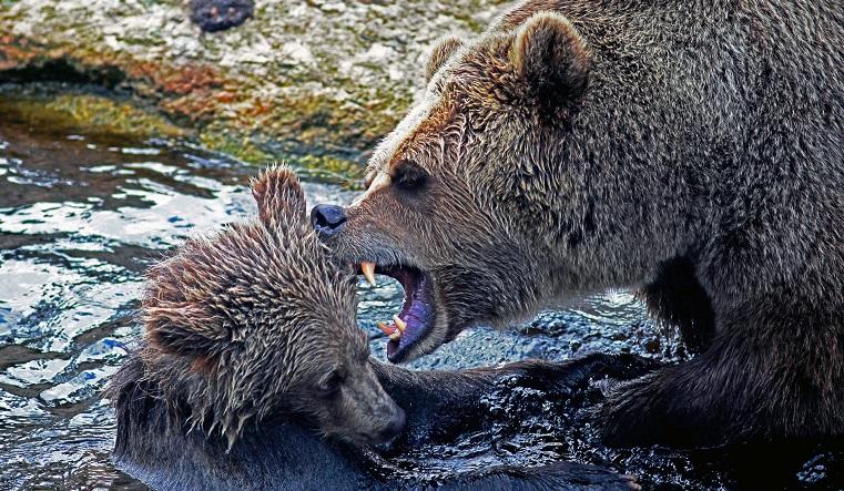 Совсем рядом с поселком. В Челябинской области семейство медведей вышло к людям