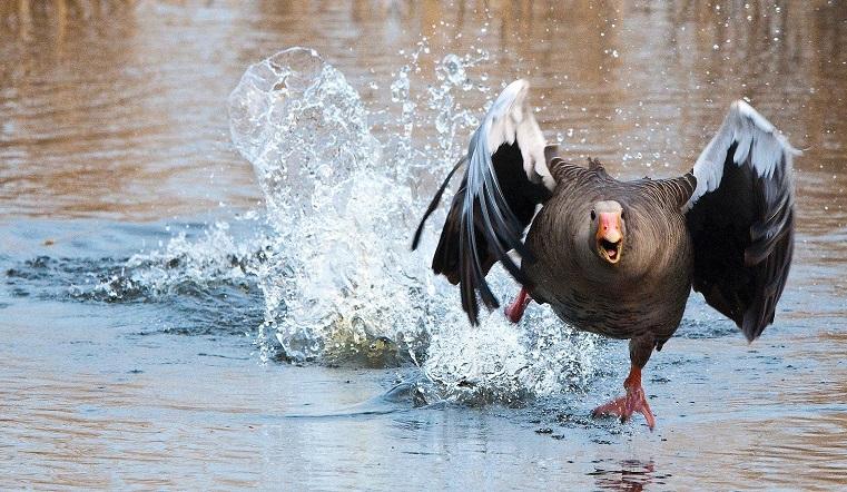Приказано уничтожить. В Челябинской области из-за вспышки гриппа массово избавляются от птиц