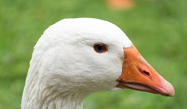 Уничтожить всех. В Челябинской области из-за вспышки гриппа массово избавляются от домашних птиц