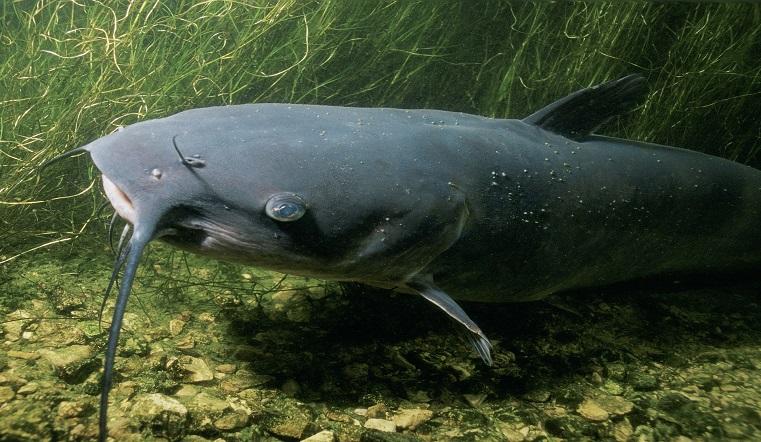Больше двух метров и 33 кг. В Челябинской области поймали огромного сома