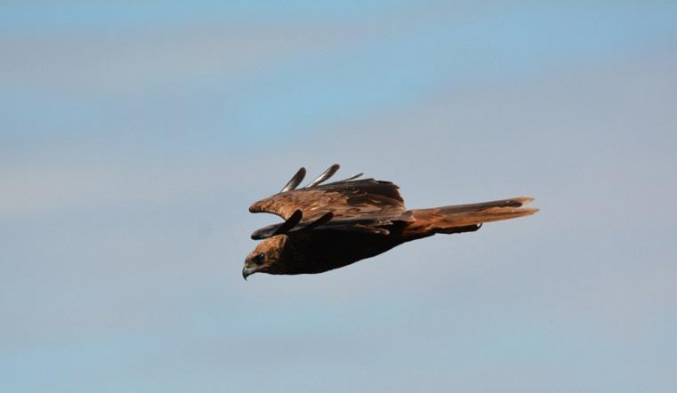 Грозный хищник. Величественную птицу-охотника заметили на Южном Урале ФОТО