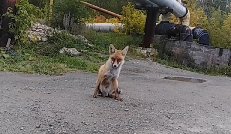 «Как местная». В Челябинской области дикая лиса регулярно приходит в поселок