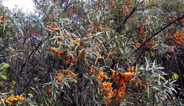Сладкие деревья. Облепиха в Челябинской области. Урожай облепихи