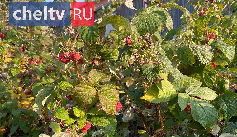 Уральская аномалия. В Челябинской области в разгар осени зацвела калина и зреет второй урожай малины