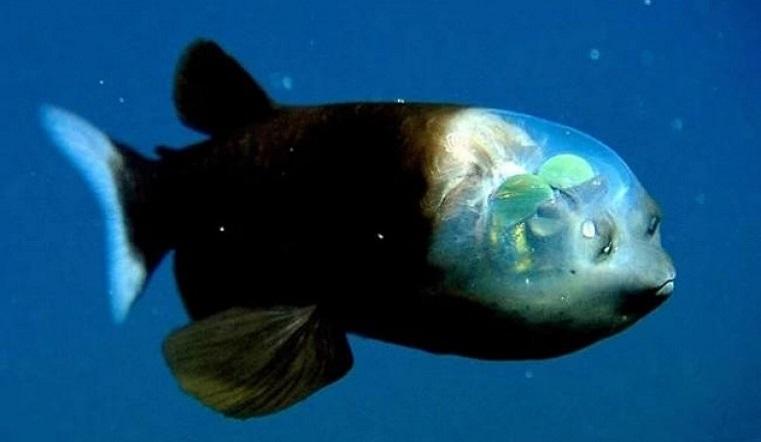 Самая уродливая и грустная: ученые раскрыли тайну рыбы с человеческим лицом. Факты о рыбах