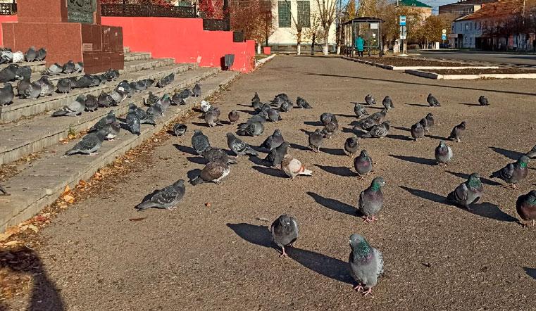 Птицы Челябинской области. На Урале десятки голубей собрались на массовую встречу