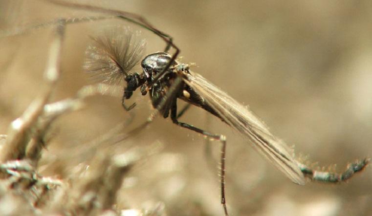 Крылатый апокалипсис. В Челябинской области в конце октября появились необычные комары