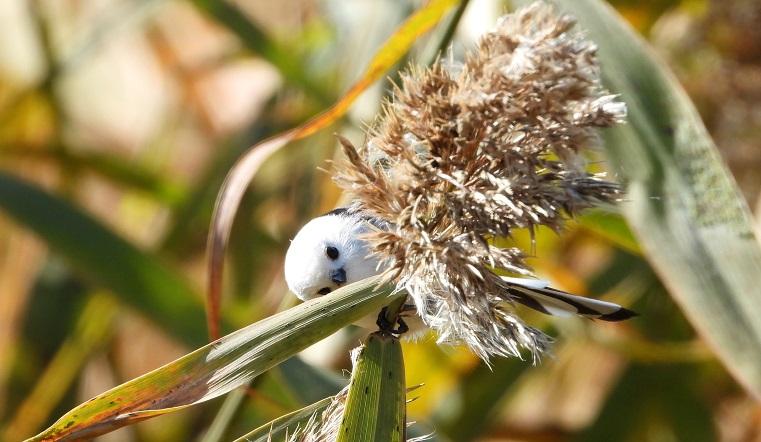 Пушистый шарик с крыльями. На Урале заметили самую милую певчую птицу