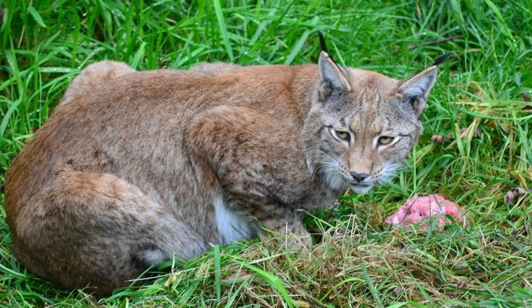 Дикие кошки. Чавкающие рыси восхитили жителей Челябинска ВИДЕО