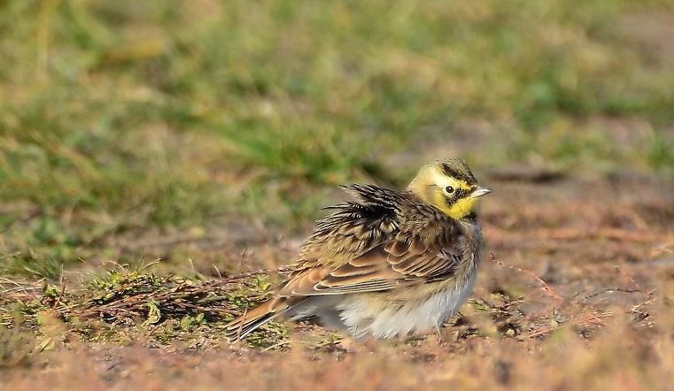Злые бестии. На Урале заметили смешных птиц с рожками