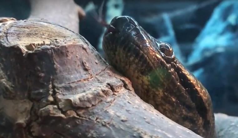 Гостья из тропиков. В челябинском зоопарке появилась самая большая в мире змея
