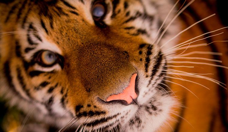 Гороскоп 2021 год Быка: кардинальные перемены, деньги и знакомства для Тигра