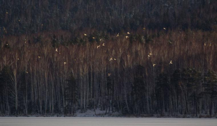 Предвестники лютых морозов. На Урал прилетели полярные воробьи. Птицы Челябинской области