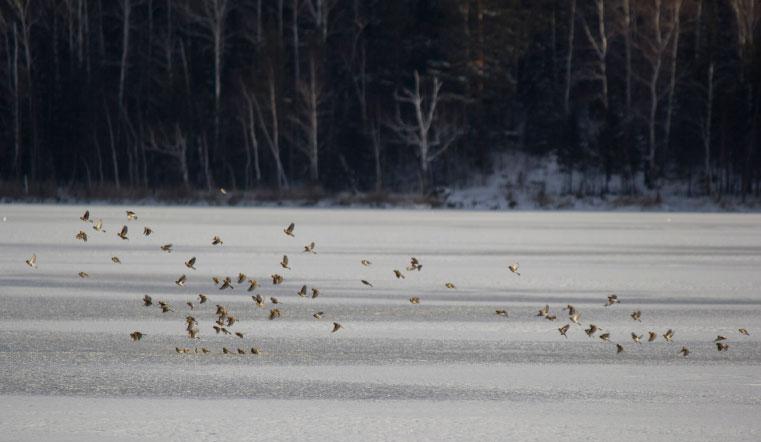 Предвестники лютых морозов. На Урал внезапно прилетели полярные воробьи