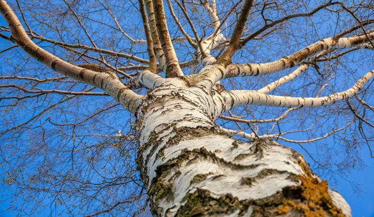 Аномальный лес. Жителей Урала шокировали березы без коры