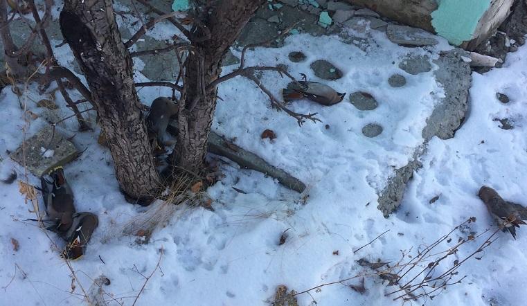 Упали с веток замертво. Жители Челябинской области обеспокоены массовой гибелью птиц