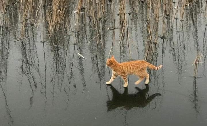 Чудо или иллюзия. Кошки в Челябинской области научились ходить по воде ФОТО