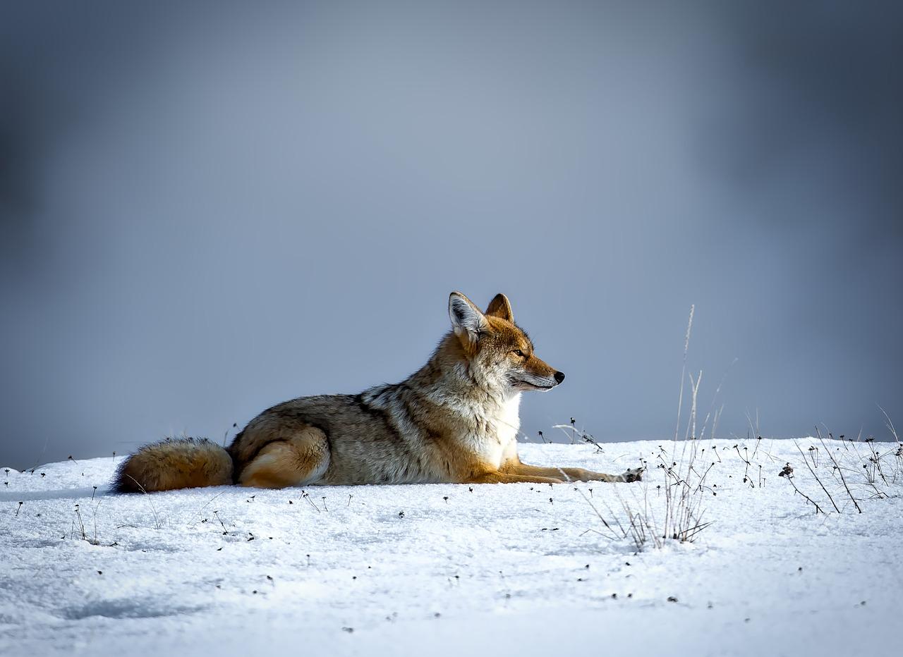Карантин по бешенству из-за лисы объявили на Южном Урале