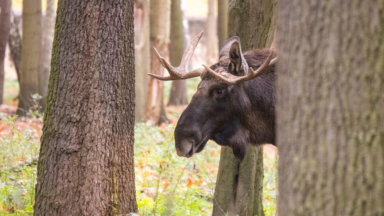 Громко чавкают: на Урале завтрак лосей попал на видео