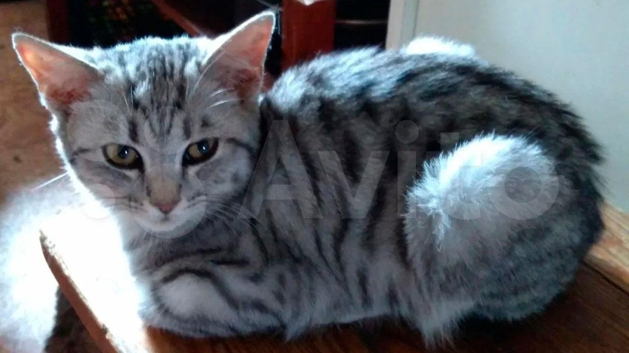 Питомец для миллионера: в Челябинске нашли самого дорогого супер-кота