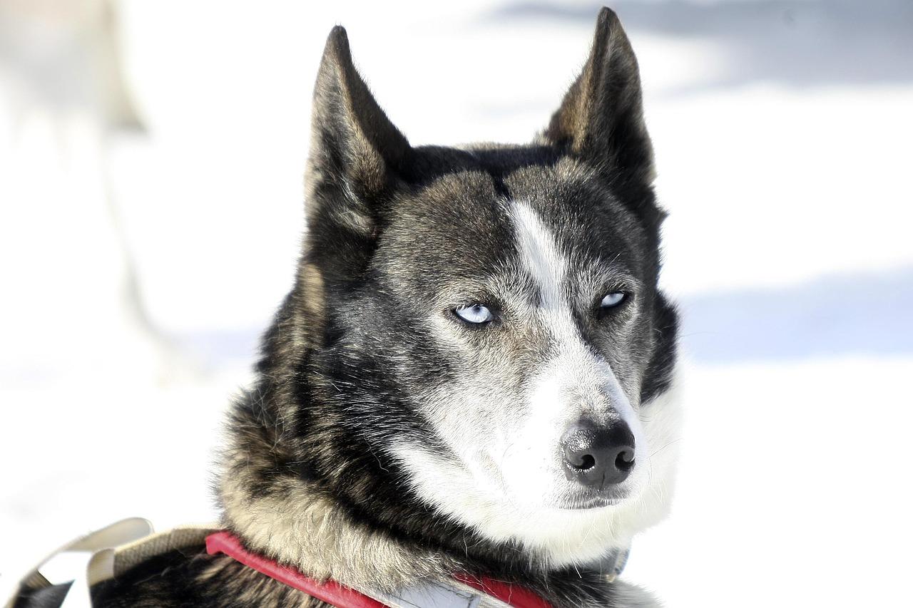 """Зимняя """"Формула-1"""": гонку на собачьих упряжках устроили в Челябинской области"""