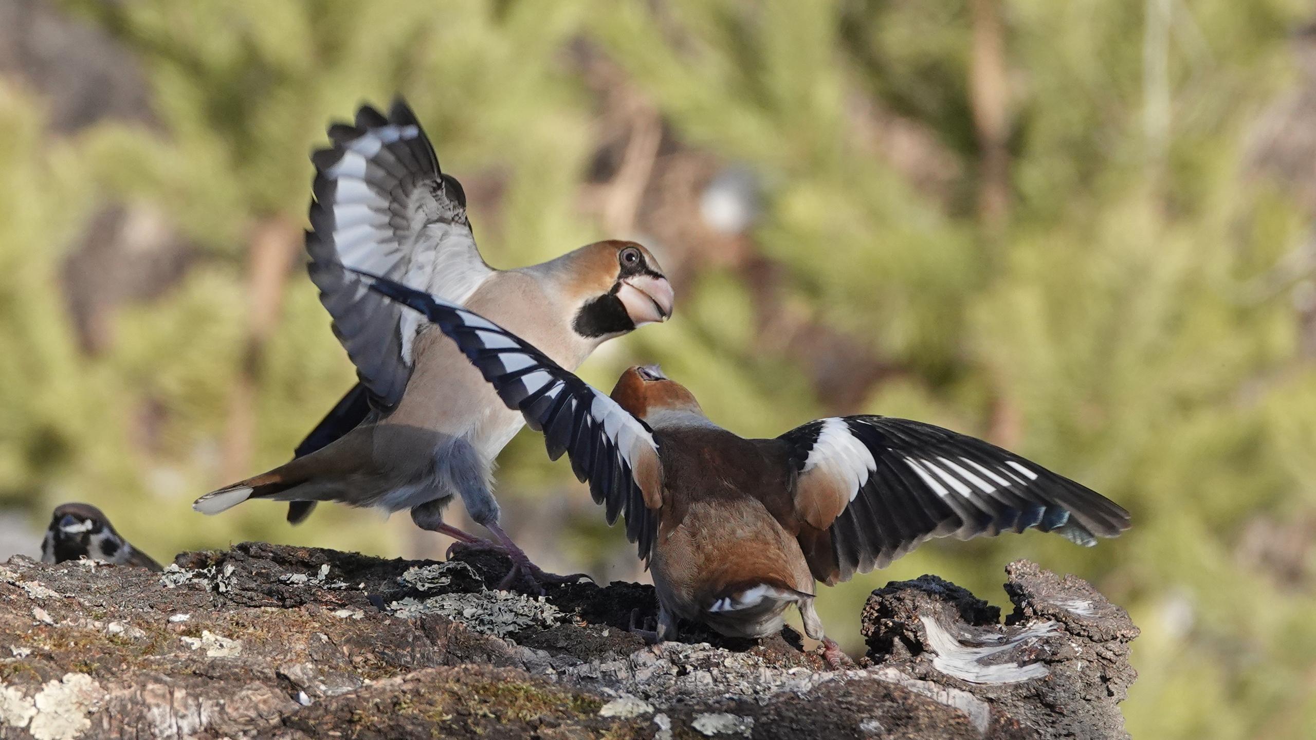 Стальной клюв. На Южном Урале сфотографировали удивительных птиц