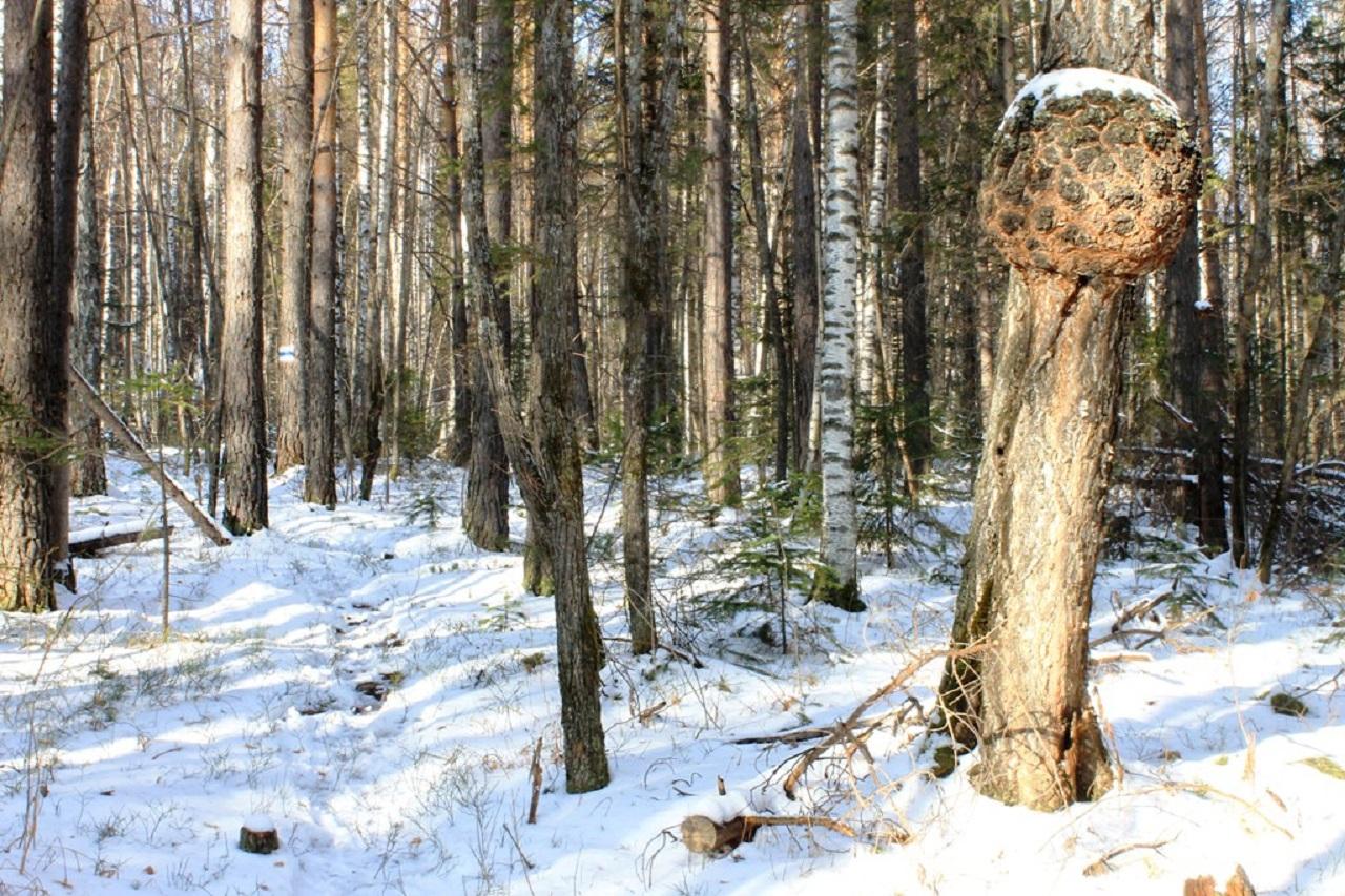 Лесной мрамор: на Урале заметили странные наросты на деревьях