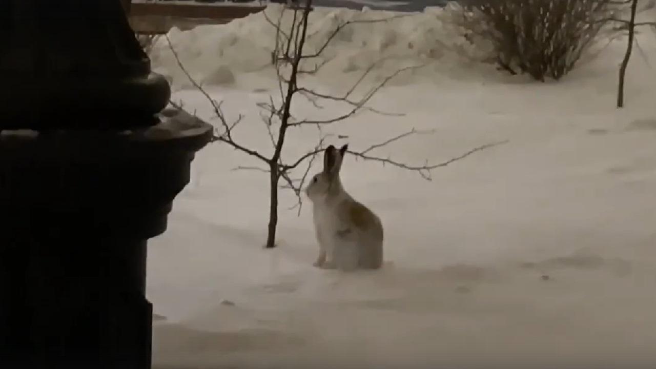 """""""Учиться пришел"""": у вуза в центре Челябинска заметили загадочного зайца ВИДЕО"""