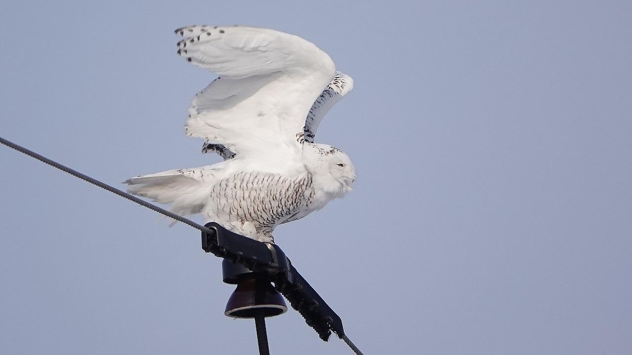 «Потеряла письмо»: на Урале сняли самую опасную хищную птицу севера
