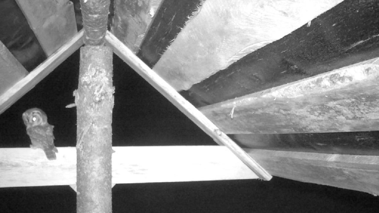 На Урале засняли бесшумного хищника размером с голубя ВИДЕО