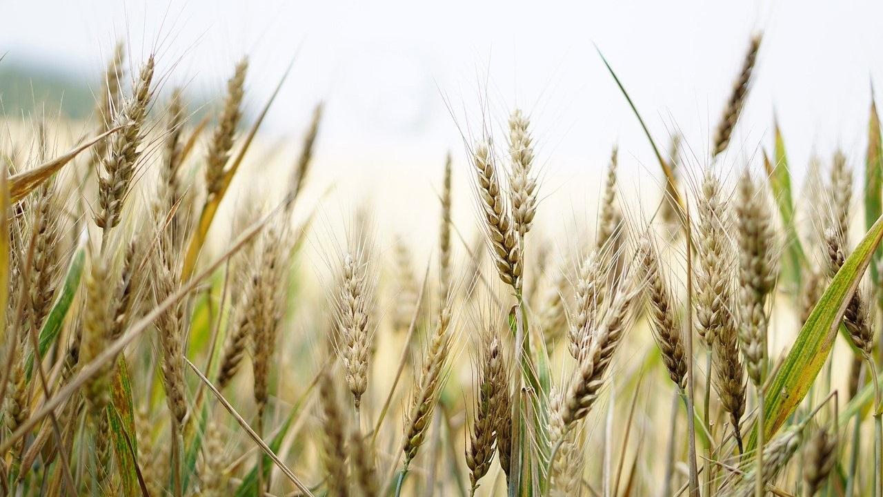 Не боится засухи: на Урале вывели самый стойкий сорт пшеницы