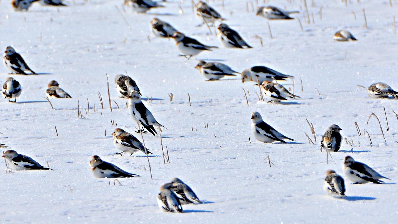 Поле со «снежными подорожниками» нашли в Челябинской области