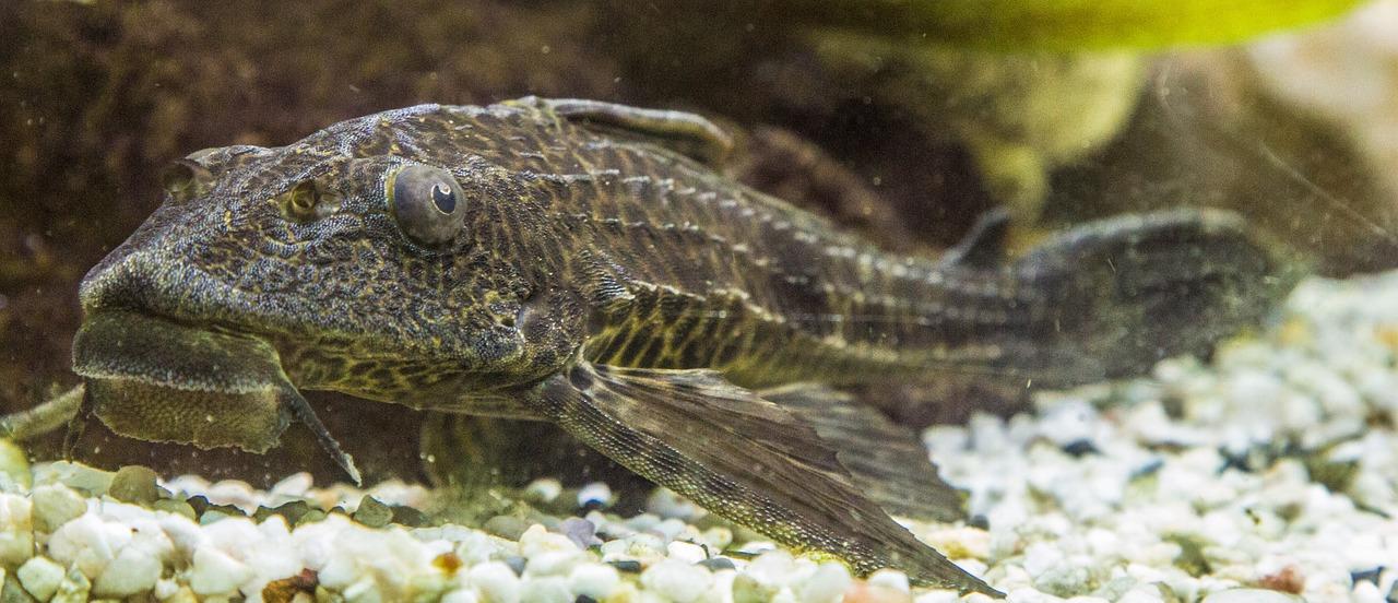 Гигантский улов: южноуралец разводит экзотических рыб во дворе