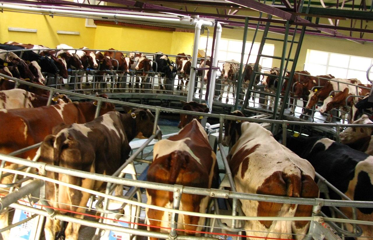 В поселке Челябинской области коров катают на карусели