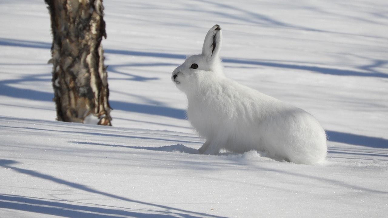 Ушастый беспредел: бесстрашные зайцы облюбовали туристическую тропу на Урале
