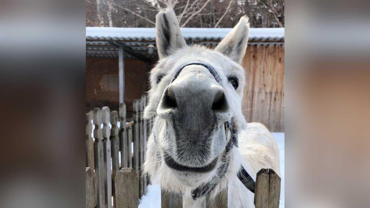 Милейший ослик Слава заставил хохотать Челябинск до слез