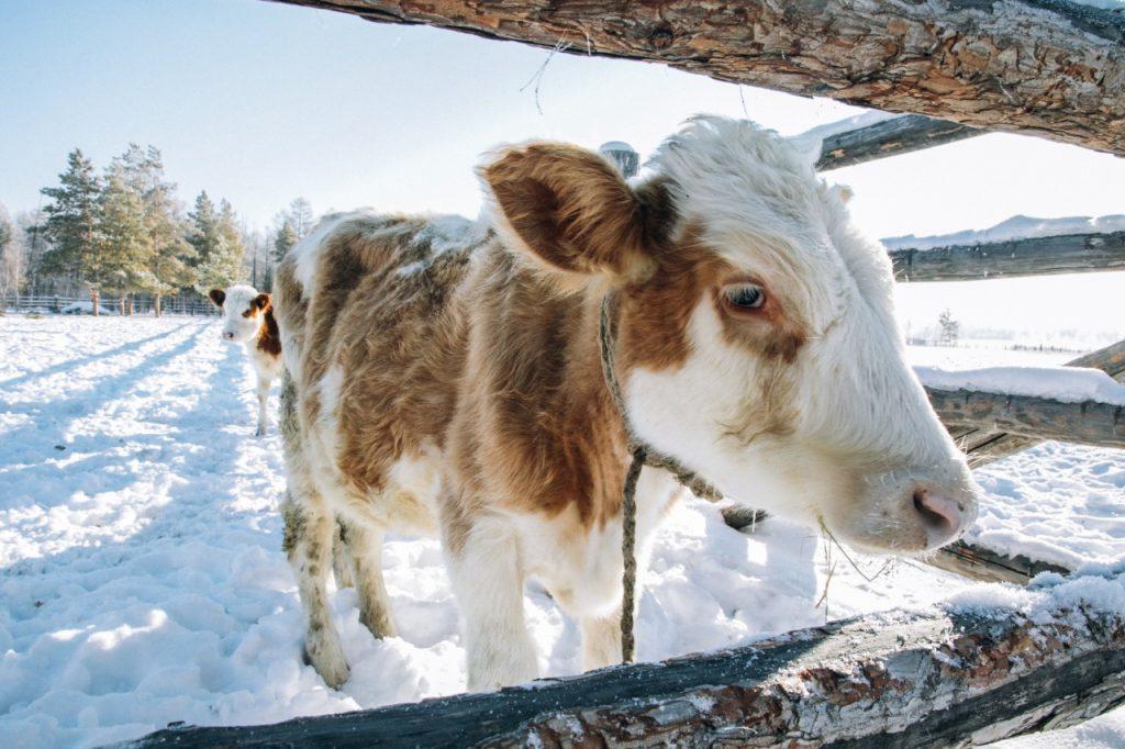 Коровник с видеонаблюдением и детский сад для телят появились в Челябинской области