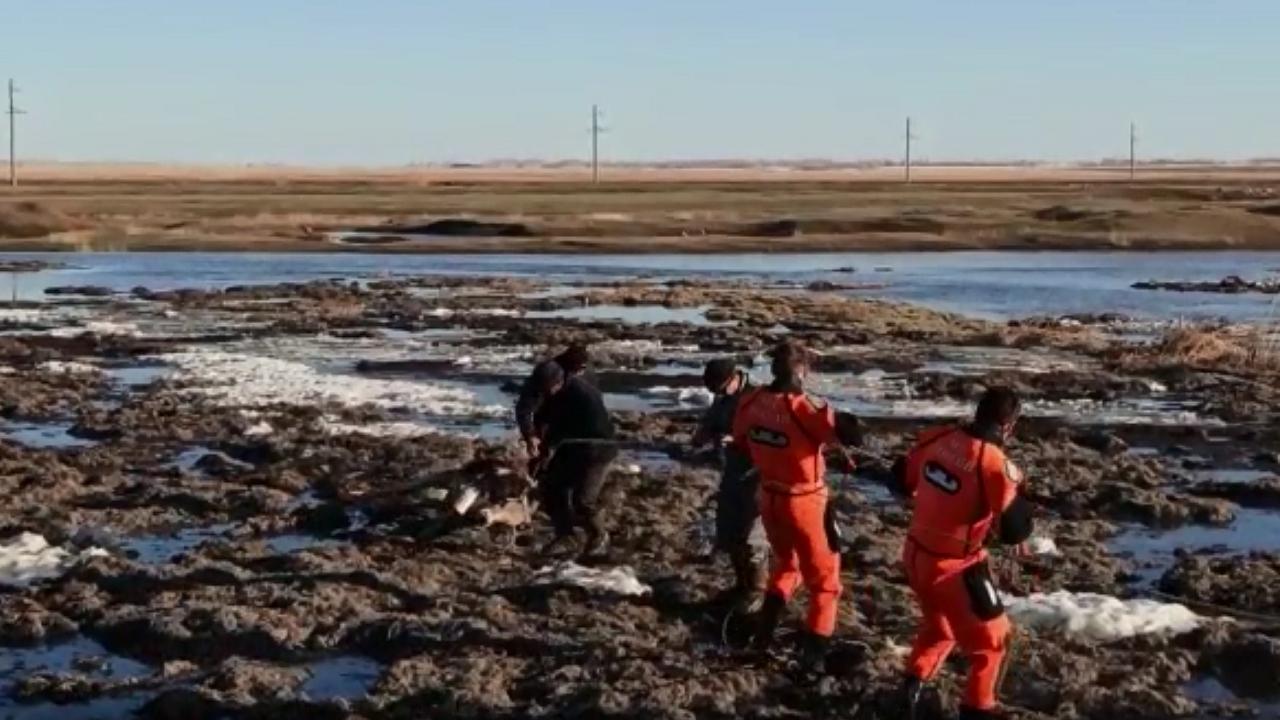 Счет шел на секунды: как на Урале спасали из полыньи теленка ВИДЕО